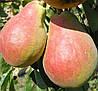Саджанці груші СІЛК КІНГ (дворічний) літнього терміну дозрівання