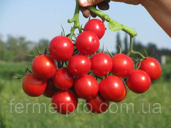 Насіння томату Руфус F1 \ Rufus F1 2500 насінин Esasem