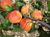 Саженцы абрикоса ПРИАБЕЛЬ (двухлетний) раннего срока созревания