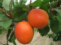 Саженцы абрикоса БЕЛЛА ДИАМОЛА (двухлетний) среднего срока созревания