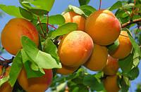 Саджанці абрикоса ПИСАНА (дворічний) середньо пізній строк достигання