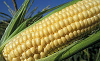 Гибрид кукурузы Глостер