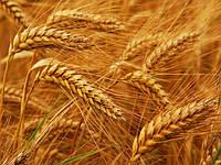 Сорт пшеницы Манитоба