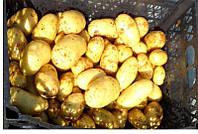 Картофель Бюррен (Фасовка: 5 кг)