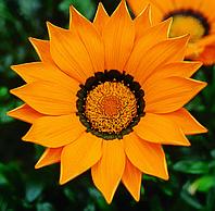 Газания  Газу F1 (Фасовка: 100 шт; Цвет: оранжевый с ободком)