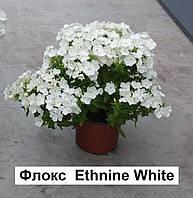 Флокс Этни (Фасовка: 100 шт; Цвет: белый)