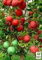 """Эксклюзив! Дерево-сад Яблоня """"Пис Гут+Деличия+Лигол"""""""