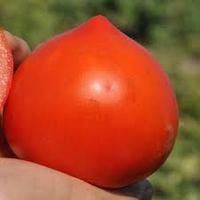Семена томата Супернова F1 (Clause) 5000 семян — ранний (65 дней), красный, детерминантный, круглый