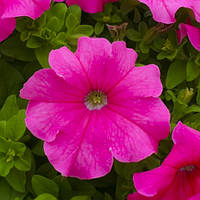 Семена Петуния Суперкаскад F1  (Фасовка: 1000 шт; Цвет: розовый)