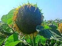 Семена подсолнечника  НС Имисан (под евролайтинг)
