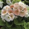Семена Примула Либре F1 (Фасовка: 100 шт драже; Цвет: лососевый пикоте)