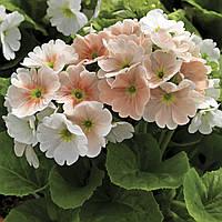 Семена Примула Либре F1 (Фасовка: 100 шт драже; Цвет: лососевый пикоте), фото 1