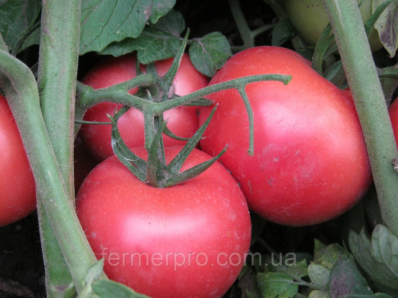 Семена томата Пинк Буш F1 \ Pink Bush F1 1000 семян Sakata