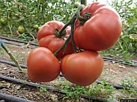 Семена томата Розалба F1 \ Rozalba F1 1000 семян Esasem