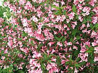 Вейгела цветущая (Фасовка: 1 шт.; Цвет: розовый)