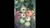 Семена томата Сигнора F1 \ Signora F1 250 семян Esasem