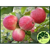 Яблоко летнее Мельба