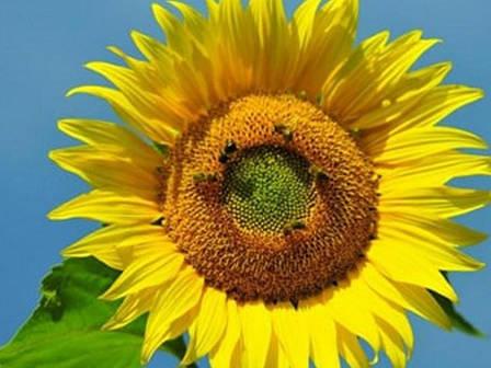 Семена подсолнечника Меркурий, фото 2