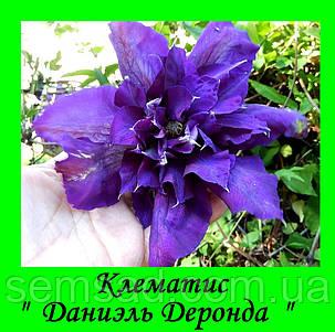 Клематис Даниэль Деронда \ Daniel Deronda ( саженец  р9 ), фото 2
