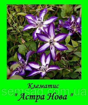Клематис Астра Нова \ Astra Nova ( саженец  р9 ) Коллекционый клематис, фото 2