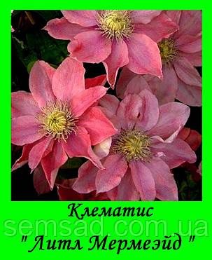 Клематис  Литл Мермейд \ Little Mermaid ( саженец  р9 ), фото 2