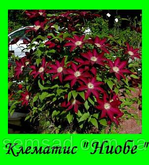 Клематис Ниобе \  Niobe ( саженец  р9 ), фото 2