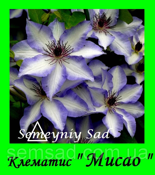 Клематис  Мисао \ Misayo  ( саженец  р9 )