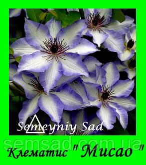 Клематис  Мисао \ Misayo  ( саженец  р9 ), фото 2