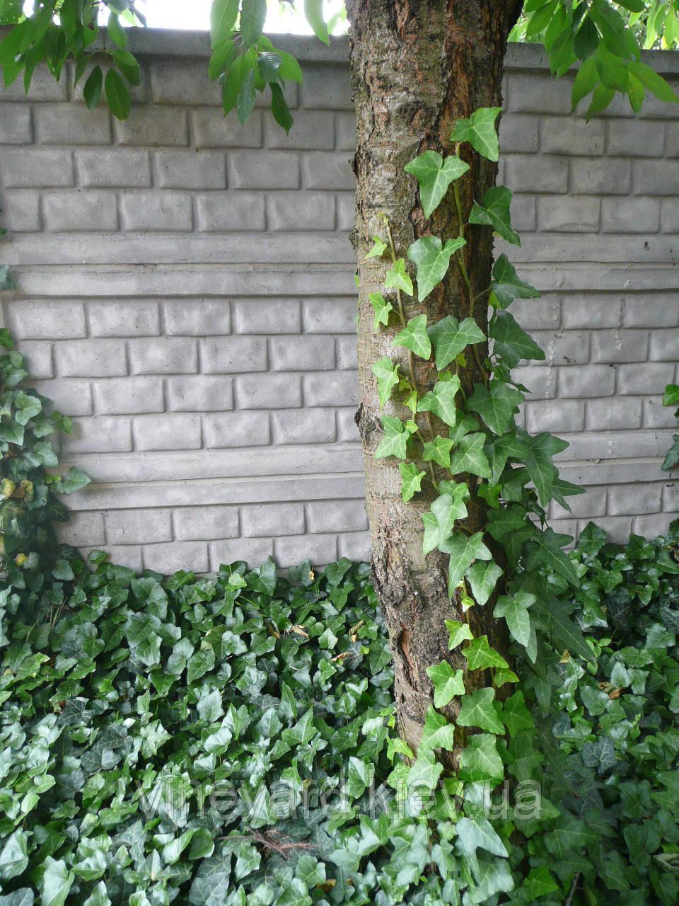 ПЛЮЩ лиана черенки (саженцы, рассада) вечнозеленый для вертикального озеленения