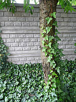 ПЛЮЩ лиана черенки (саженцы, рассада) вечнозеленый для вертикального озеленения, фото 1
