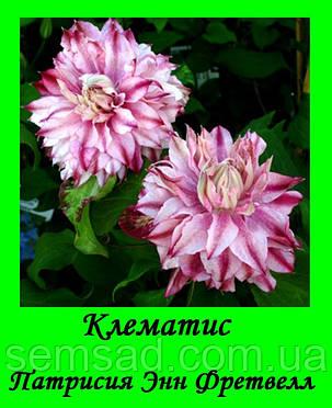 Клематис Патрисия Энн Фретвелл \ Patricia ann Fretwell ( саженец  р9 ), фото 2