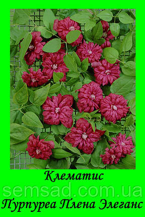 Клематис Пурпуреа Плена Элеганс \ Purpurea Plena Elegans ( саженец  р9 ), фото 2