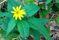 Земляная груша лист (топинамбур) 40 грамм