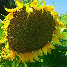 Семена подсолнечника Одиссей