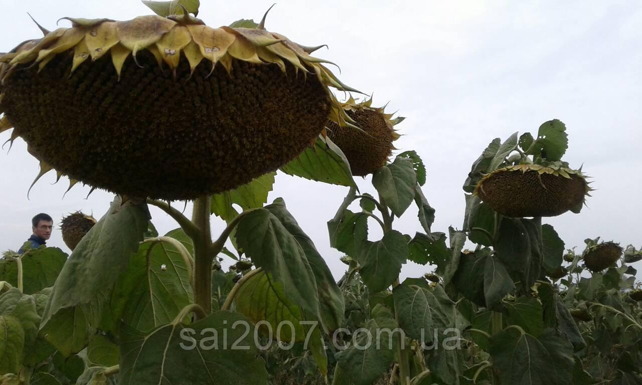 Насіння гібриду соняшнику Рекольд під Гранстар