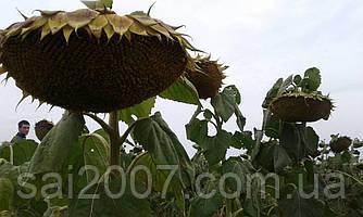 Семена гибрида подсолнечника Рекольд под Гранстар