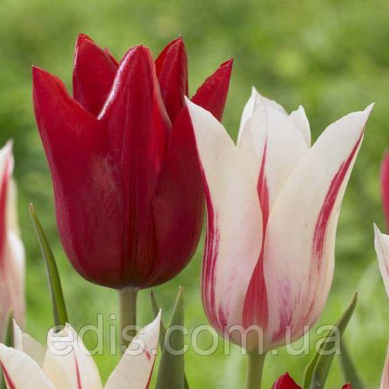 Набор Мерилин (лилиевидные тюльпаны) 7 луковиц