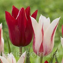 Набір Мерилін (7 цибулин лілієвидних тюльпанів)