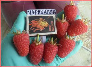 "Саженцы малины ""Маргарита"", фото 2"