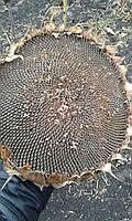 Семена подсолнечника Гранд (Адмирал) под Гранстар