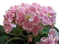 Сенполия Розовая Акварель (Морев)