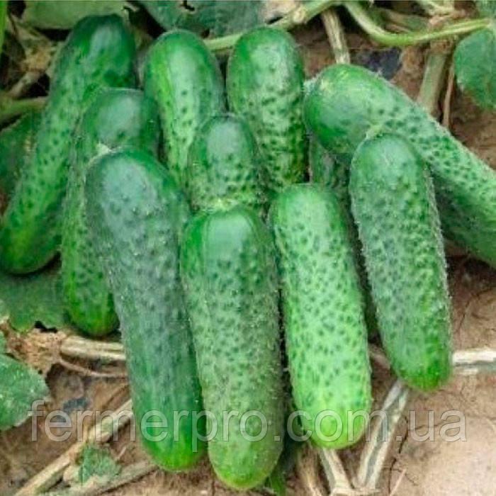 Семена огурца Супремо F1 \ Supremo F1 500 семян Sakata