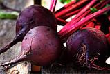 Семена, ДЕТРОЙТ 2 / DETROYT 2 - свекла ТМ Hortus Италия, пакет 500 грамм., фото 2