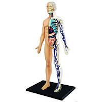 Четырехмерный пазл 4D Master Тело человека Анатомия человека (26085)