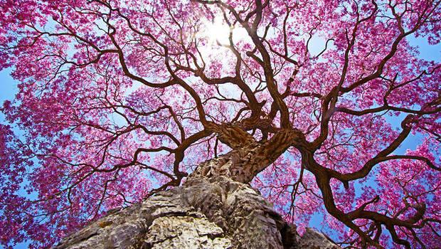 9 полезных свойств дерева Пау Дарко