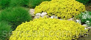 """Седум АКРЕ  """" Yellow Queen """" НОВИНКА, фото 2"""