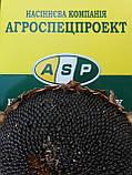 Гибрид подсолнечника ЖАЛОН, Купить засухоустойчивый и урожайный подсолнечник ЖАЛОН в Украине. Олийный. Экстра, фото 5