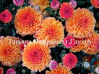 Хризантема РАННЯЯ МОЛФЕТТа, фото 1
