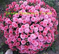 Хризантема мультифлора РАНЯЯ Молфетта розовая (с августа), фото 1