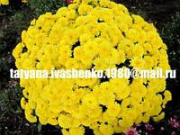 Хризантема мультифлора черенок